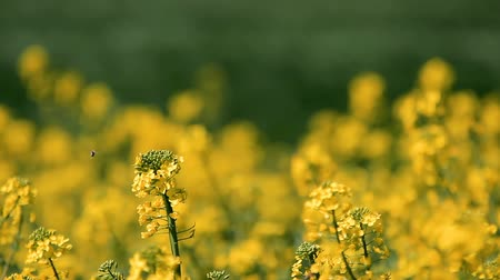 animali fattoria : Honey Bee Pollinating Canola Filmati Stock