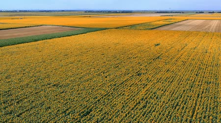 pólen : Aerial View Of The Sunflower Field