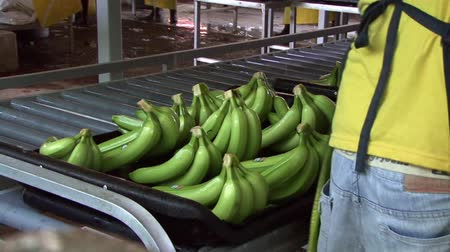 farm in brazil : Banana Plantation