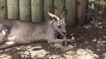 wallaby : Kangaroo resting and eating Stock Footage