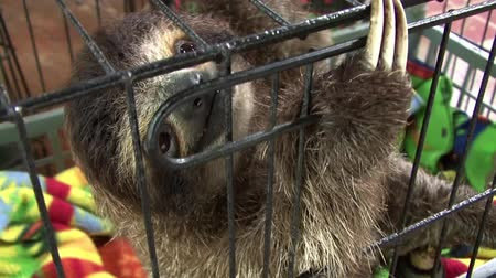 limon : Sloth inside a cage Stock Footage
