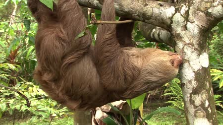 pilosa : Sloth upside down Stock Footage