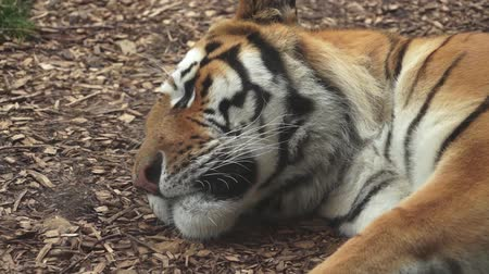Tiger sleeping Stok Video