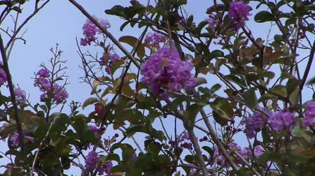 Tree with pink flower blossom blowing in the wind Stock Footage