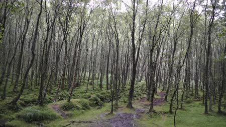 пробуждение : Trees in a forest Ireland Стоковые видеозаписи