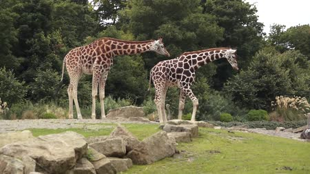 savanne : Two Giraffes
