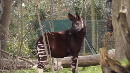 Zebra Horse Zebroid