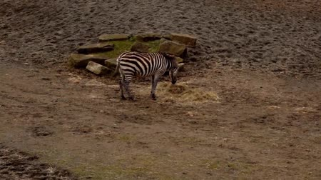 limpopo : Zebra Eating Stock Footage