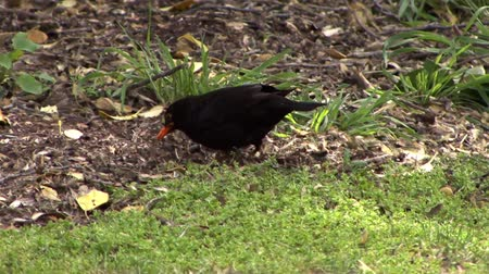 turdus merula : Black Bird Stock Footage