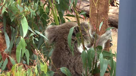 Koala Bear Stock Footage