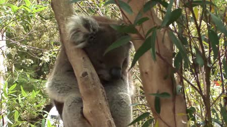 Koala Bear Stockvideo