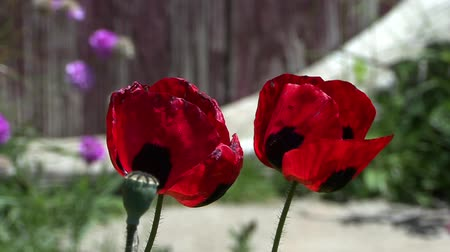 inculto : Red Poppies Close Up