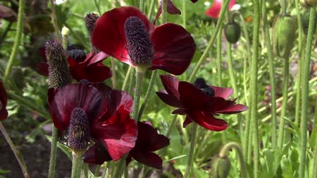 piwonia : Close up of dark red flowers