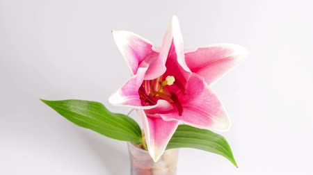 Роуз : Blooming purple lily on white,timelapse