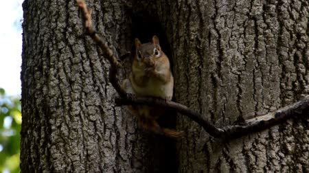 chipmunk : A chipmunk sitting on a tree branch washes his face, head and front legs.