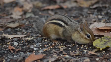 малая глубина резкости : A chipmunk searches among the fall leaves for birdseed left of the forest floor by visiting humans. Стоковые видеозаписи