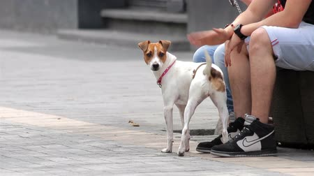 large ears : Mexico City, Mexico- July 2014: Terrier dog interacting with his owner. At present many people in the city prefer have small pets due the reduced space in their apartments.