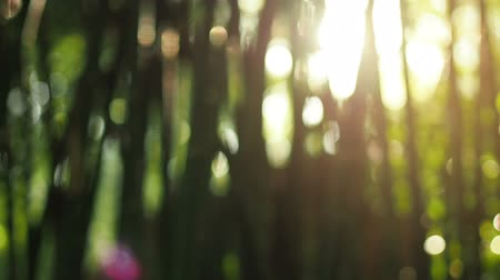 bambusz : Beautiful out of focus sunset. Sun shine thorugh the blowing on wind bamboo leaves