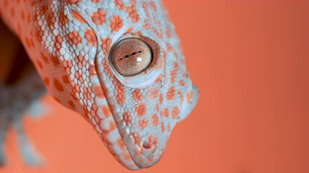 клейкий : Gecko on the orange wall