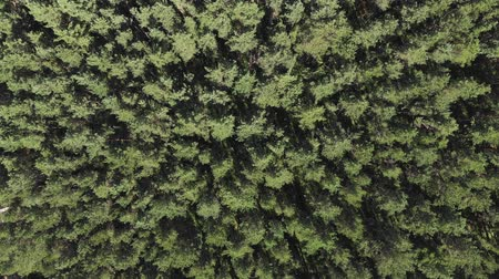 Aerial view, camera moves rising up from pine trees forest
