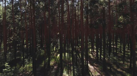 Flying passing by pine trees. point of view, drone view of talla forest pine trees at sunset in summer