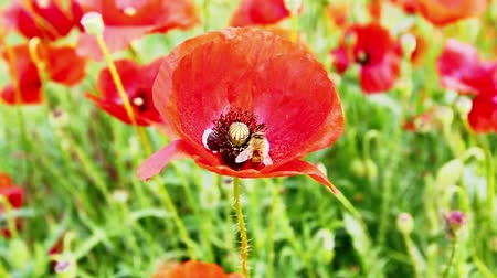 polinização : Bee pollinating a flowering red poppy  Stock Footage