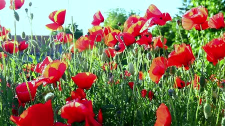 florido : Red poppies on spring meadow