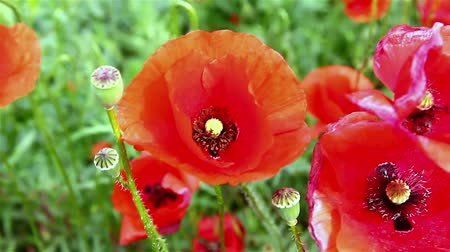 polinização : bee flies around the flower red poppy