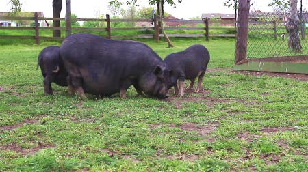 sheepfold : Vietnamese pig family crazing spring grass on farm