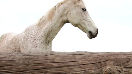 exclamação : Portrait view of a beautiful white horse with gray sky in background