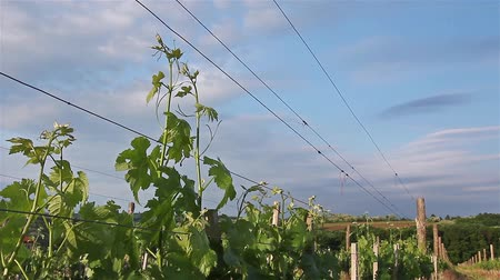 winnica : Vineyard. Young vineyard has planted in parallel rows at hilly landscape.