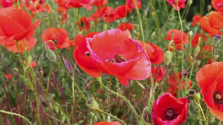 polinização : Bee on red poppy flower, pollination. Bees flying on a red poppy flower, gathering pollen, pollination.