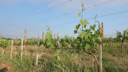 úponka : View on vineyard.Young vineyard is planted in parallel rows at hilly landscape.