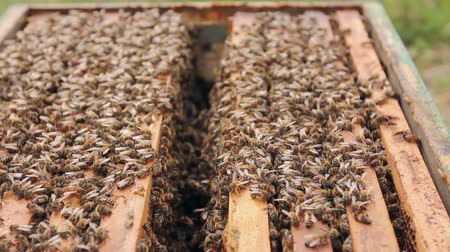 apiary : Bees are coming out of the open hive Opened beehive, bees are crawl along the hive on honeycomb wooden frame.