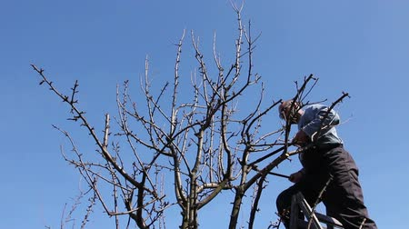 climbed : Gardener is cutting branches, pruning fruit trees with pruning shears in the orchard Farmer is pruning branches of fruit trees in orchard using loppers at early springtime day using ladders.
