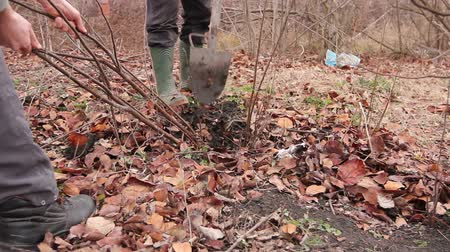 przeszczep : Transplanting new scion with roots from parent fruit tree Gardener is using shovel to dig out young fruit tree with roots to multiply minor plants in his orchard. Wideo