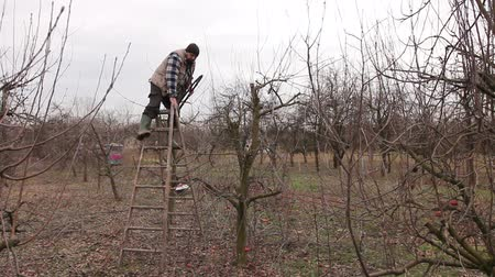 climbed : Gardener is climbed on ladders and he cutting branches, pruning fruit trees with long shears in the orchard. Stock Footage