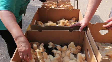 csajok : Hands are grabbing baby chick, small and very beautiful colorful chicks are placed in cardboard box, poultry industry. Stock mozgókép