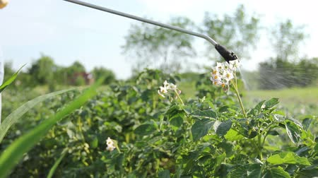 садовник : Farmer sprays inflorescence potatoes plants to protect them with chemicals from fungal disease or vermin with manually sprayer in his garden.