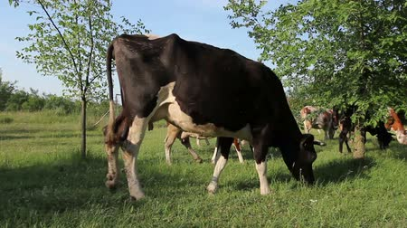 düve : Bloodstock cows are grazing grass, on pastures, meadow. Herd of domestic bloodstock cows are grazing grass in rural village. Stok Video