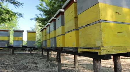 улей : Wooden colorful beehives in a row are placed on wooden construction lifted off the ground. Стоковые видеозаписи