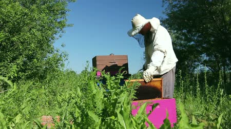 tomar : Beekeeper is taking out the honeycomb on wooden frame to control situation in bee colony. Stock Footage