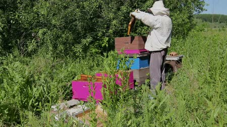 arı kovanı : Beekeeper is looking swarm activity over honeycomb on wooden frame, control situation in bee colony. Stok Video