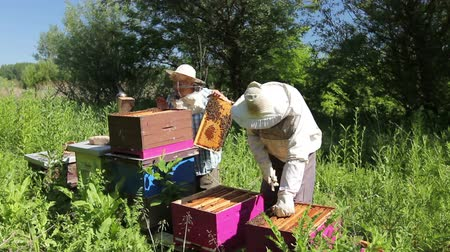 macacão : Senior beekeepers are taking out the honeycomb on wooden frame to control situation in bee colony.