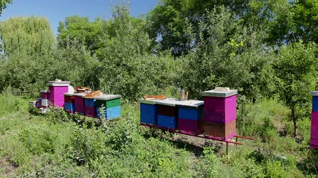 yabanarısı : Elderly woman apiarist, beekeeper is working in apiary. Barehanded senior woman, Beekeeper, is control situation in bee colony. Stok Video