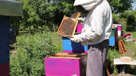 arı kovanı : Elderly woman apiarist, beekeeper is working in apiary. Barehanded senior woman, Beekeeper, is control situation in bee colony. Stok Video