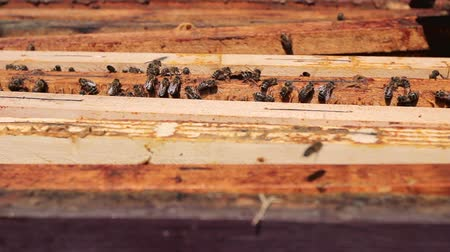 улей : Bees on beeswax in open hive. Above view on opened beehive, bees are crawl along the hive on honeycomb wooden frame.