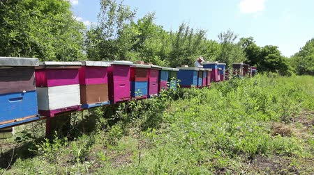 улей : Beekeeper is controlling situation in lined wooden colorful beehives, bee colony.