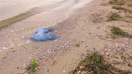 tropikal iklim : Big, blue, dead, jellyfish in shallow sea water. Carcass of dead huge blue jellyfish is washed up by the sea on sandy beach. Photo