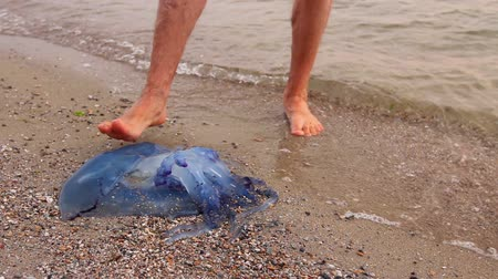 şişme : Man is touching carcass of dead huge blue jellyfish barefoot with enlarged veins washed up by the sea on sandy beach. Stok Video